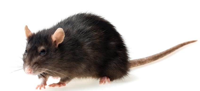 Drive Away Rodents with Insulrepel®